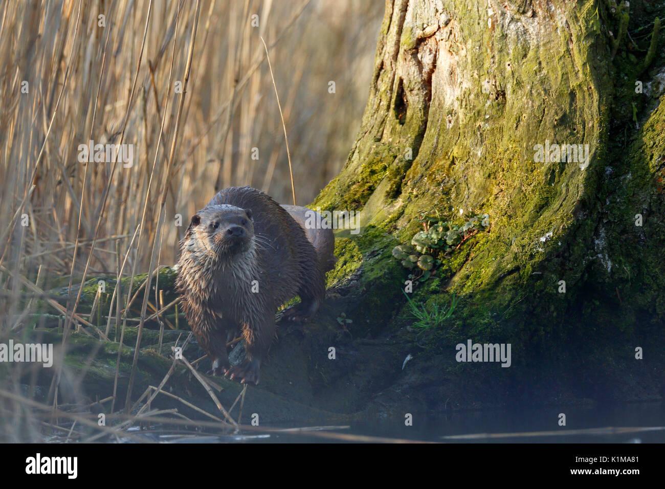 European otter (Lutra lutra) next to deadwood tree, Naturpark Flusslandschaft Peenetal, Mecklenburg-Western Pomerania, - Stock Image