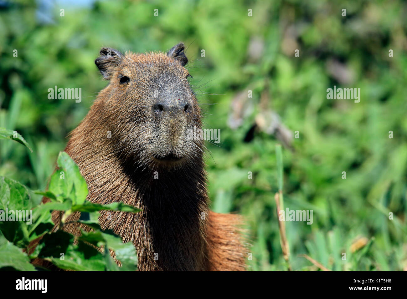 Close-up of a Capybara. Pantanal, Brazil - Stock Image