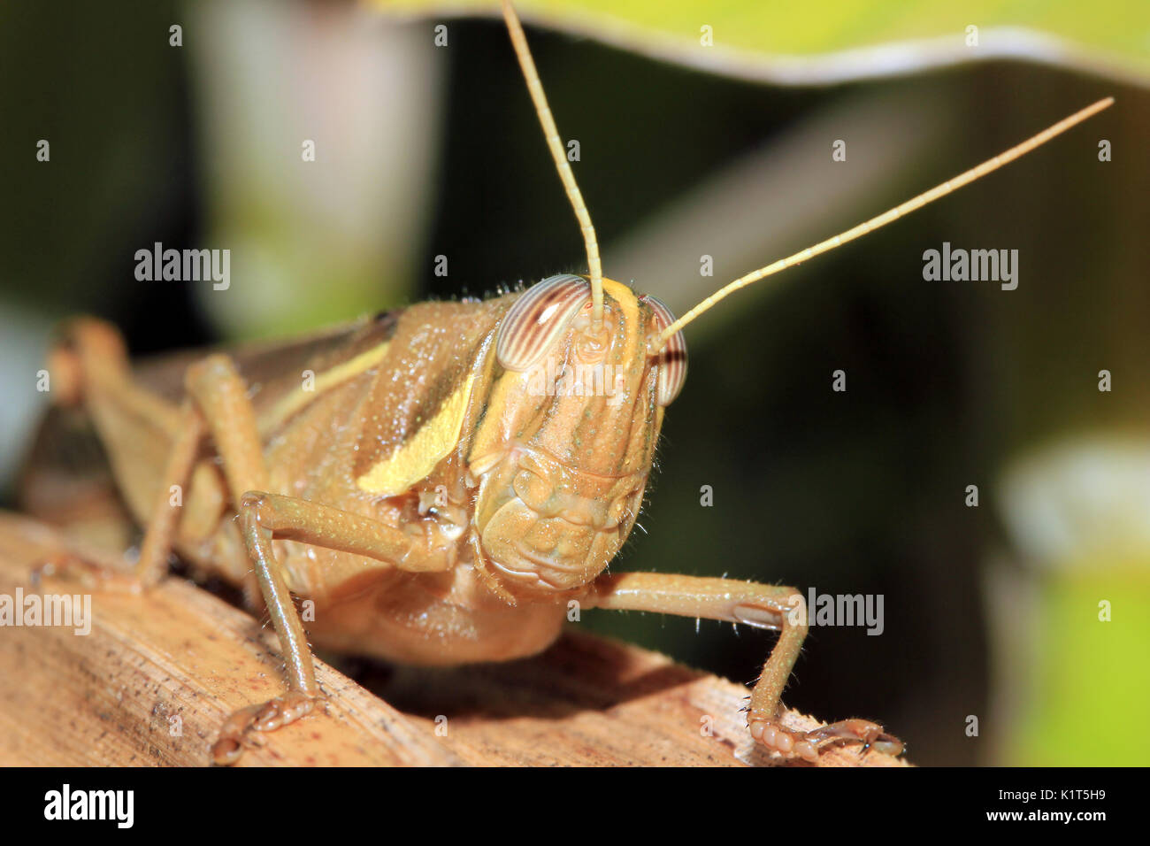 Close-up of a Cricket on a Leaf. Amazon Rainforest, Brazil. - Stock Image