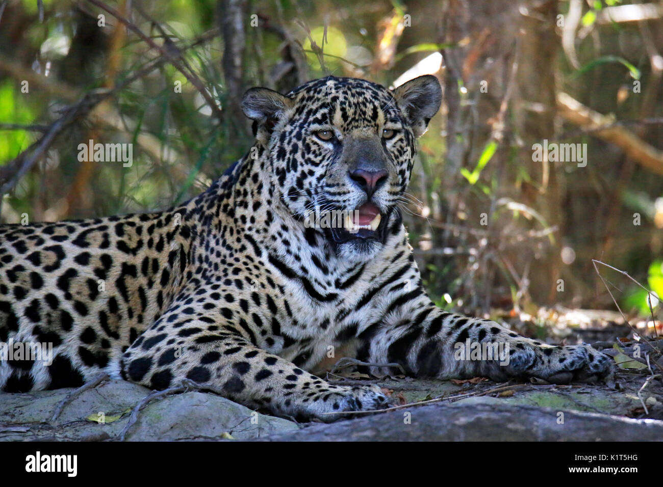 Jaguar Resting on the Ground. Pantanal, Brazil - Stock Image