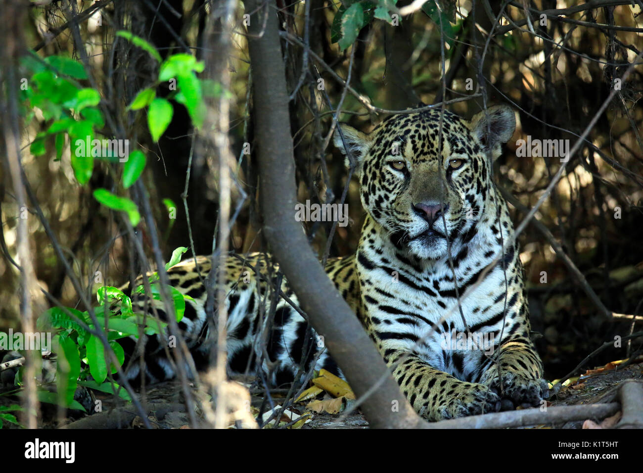 Jaguar Lying on the Ground, Looking into the Camera. Pantanal, Brazil - Stock Image