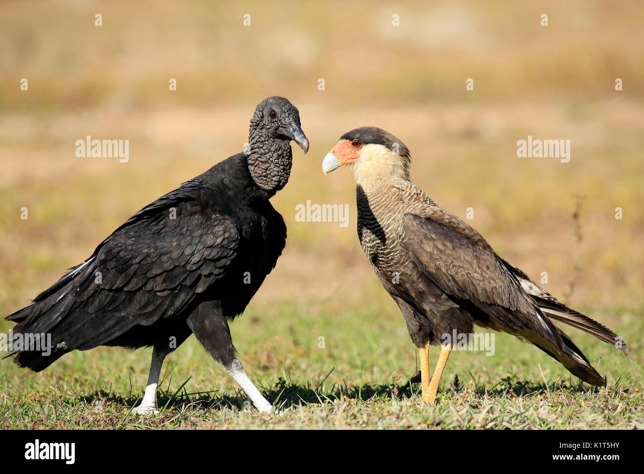 Black Vulture (Coragyps atratus) and Southern Caracara (Caracara plancus), Face to Face on the Ground. Rio Claro, - Stock Image