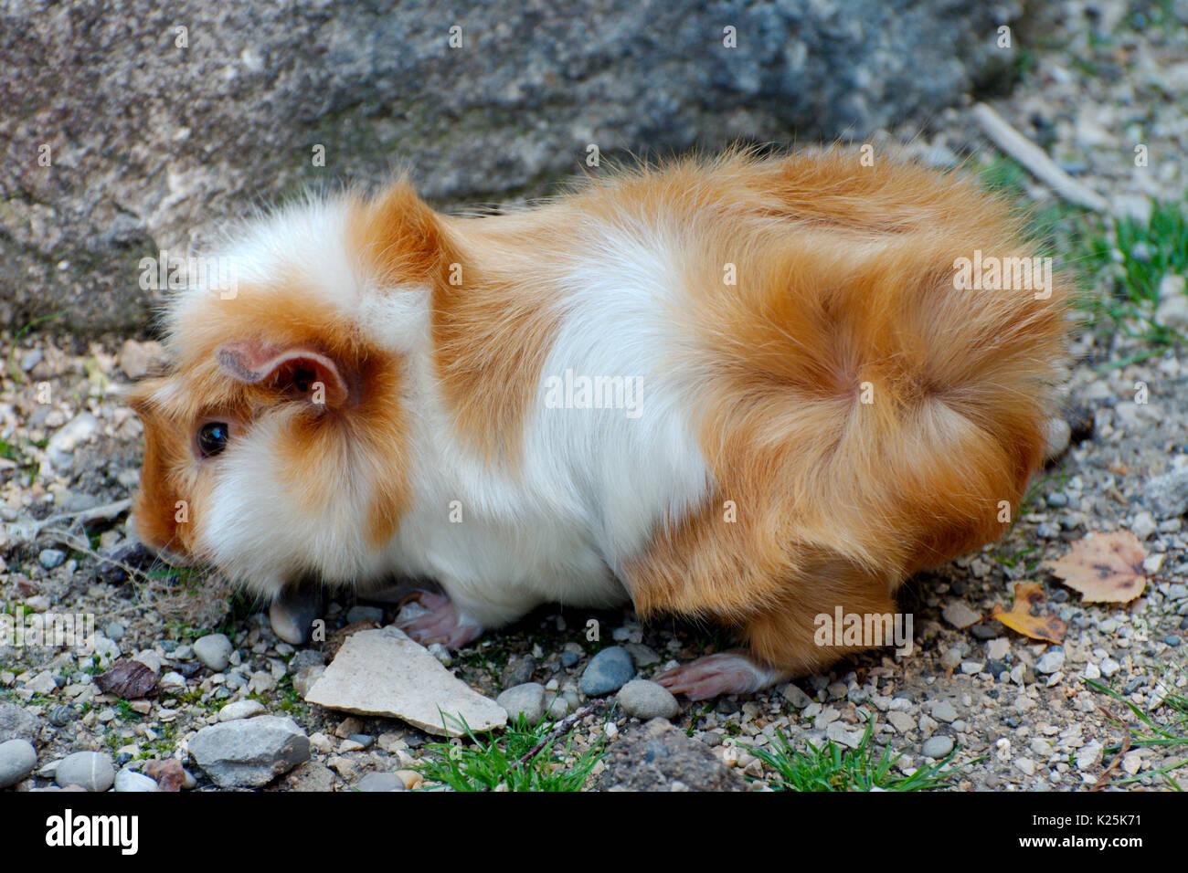 Guinea pig dating