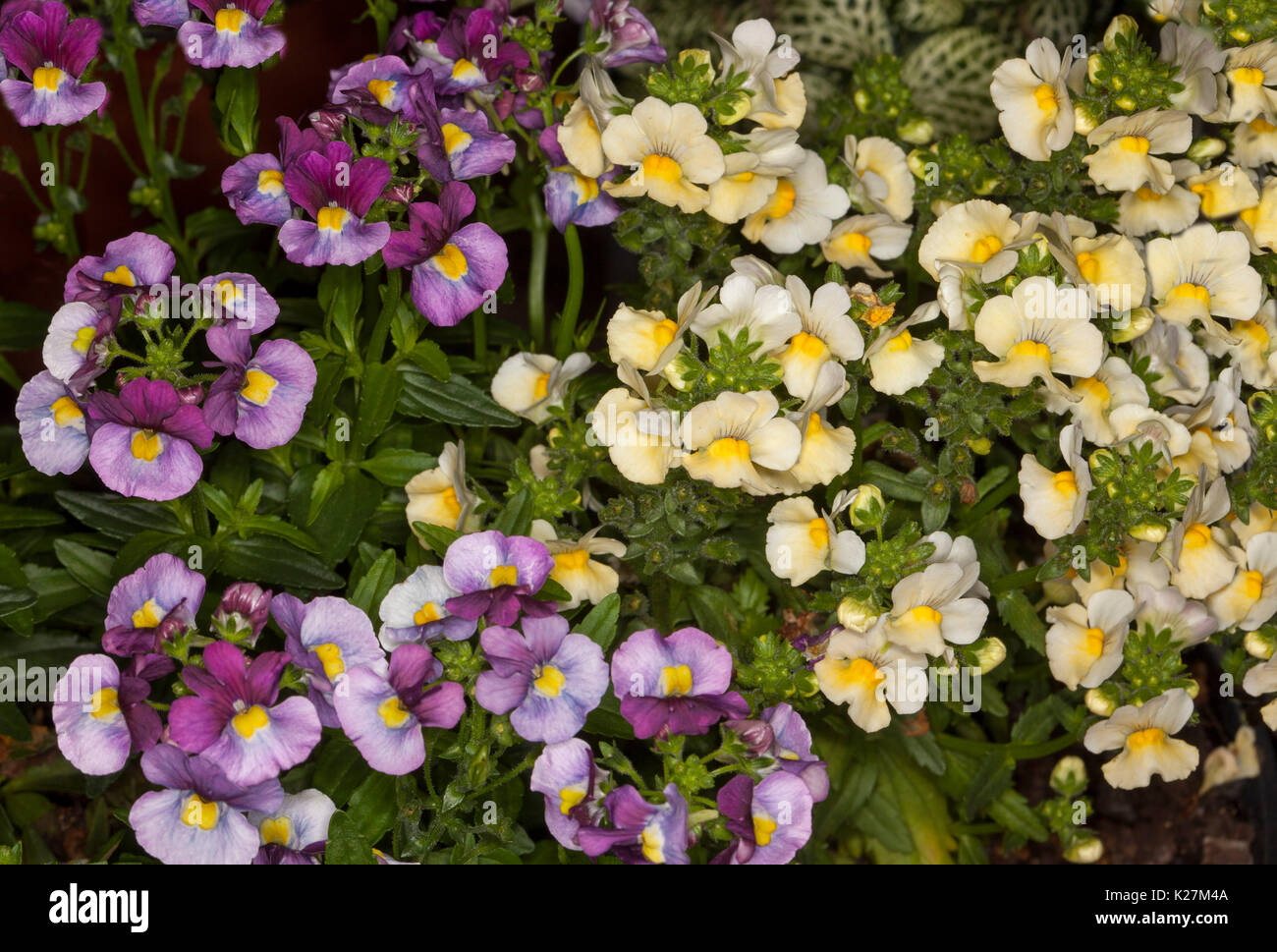 Cluster of flowers in contrasting colours, yellow and purple flowers of Nemesia 'Fruit Tingle' with dark - Stock Image