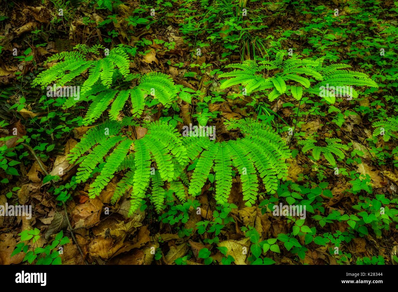 Ferns  (Orton Effect) on Meigs Creek Trail, Great Smoky Mountains National Park, TN - Stock Image