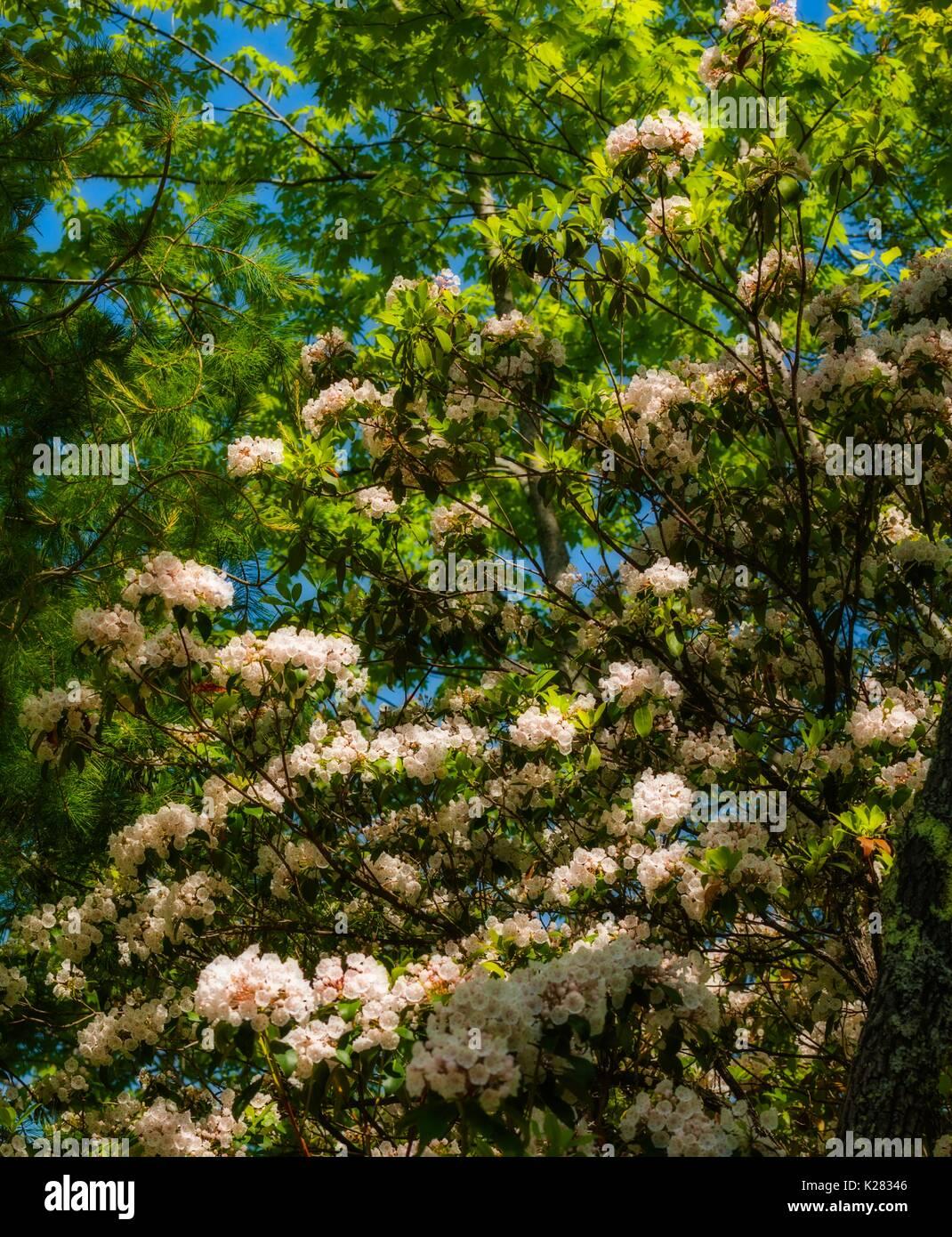 Mountain Laurel  (Orton Effect) on Meigs Creek Trail, Great Smoky Mountains National Park, TN - Stock Image