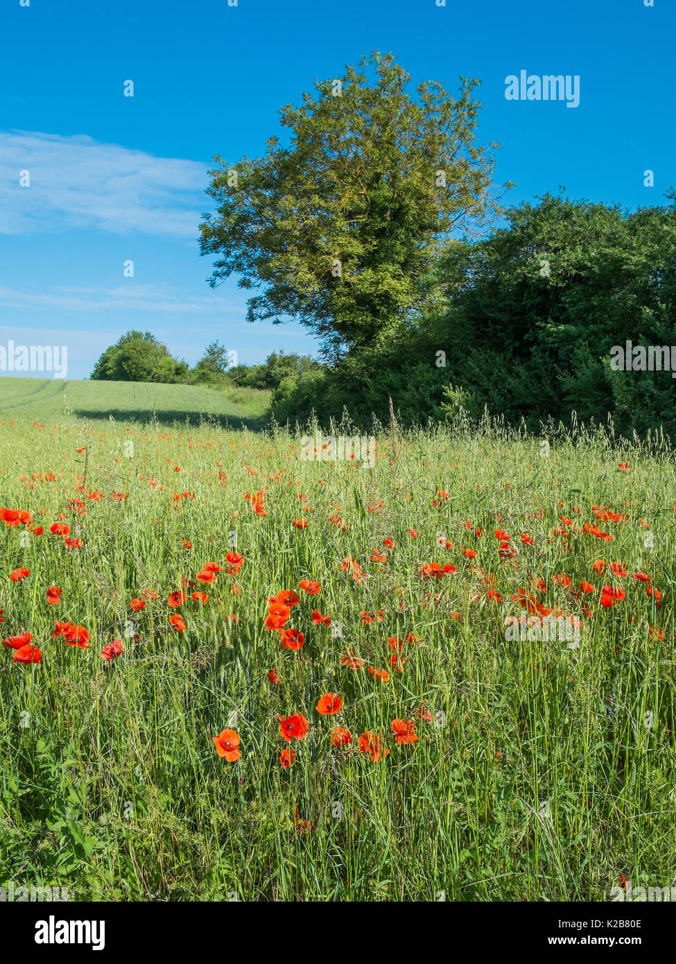 Poppies in field of barley, France. - Stock Image