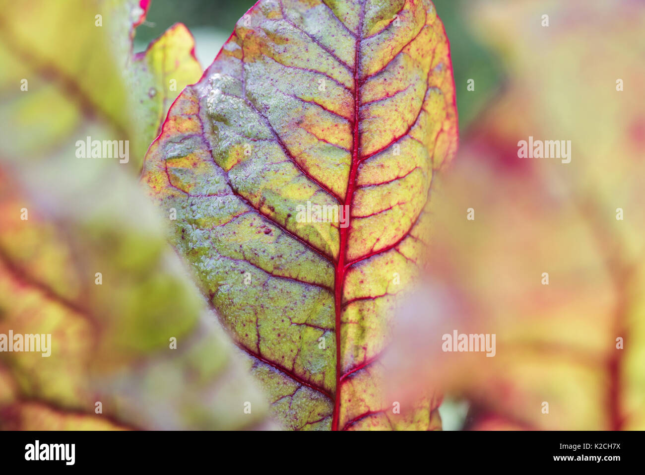 Beta vulgaris. Young Swiss chard 'bright lights' in a vegetable patch - Stock Image