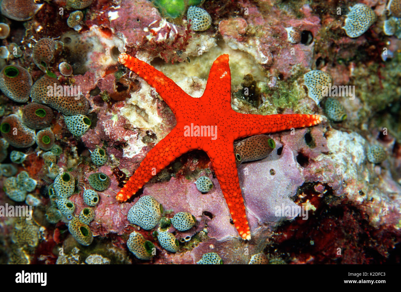 Fromia Sea Star, Irian Jaya, Indonesia, Banda Sea, Pacific Ocean - Stock Image