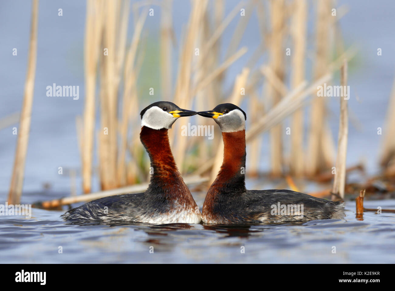 Red-necked grebes (Podiceps grisegena), couple, courtship, in the water, nature river area Peene Valley - Stock Image