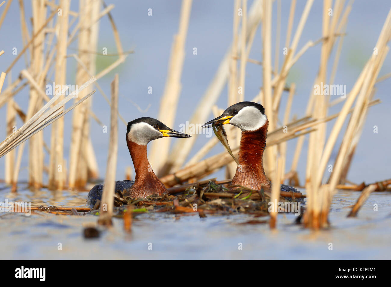 Red-necked grebes (Podiceps grisegena), couple with nesting material, nature river area Peene Valley - Stock Image
