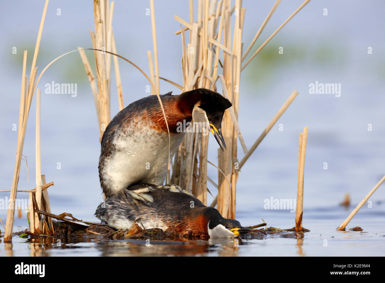 Red-necked grebes (Podiceps grisegena), mating on a nest, nature river area Peene Valley, Mecklenburg-Western Pomerania, - Stock Image
