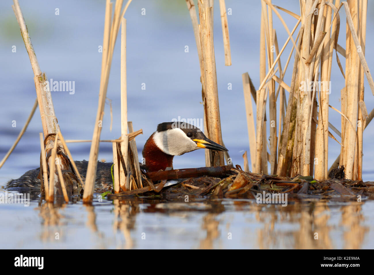 Red-necked grebe (Podiceps grisegena), with nesting material, nature river area Peene Valley, Mecklenburg-Western - Stock Image