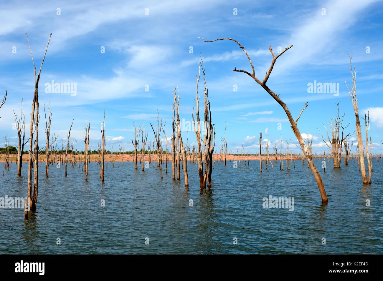 Dead Mopane trees (Colophospermum mopane) partially submerged in Lake Kariba, Matusadona National Park, Zimbabwe - Stock Image