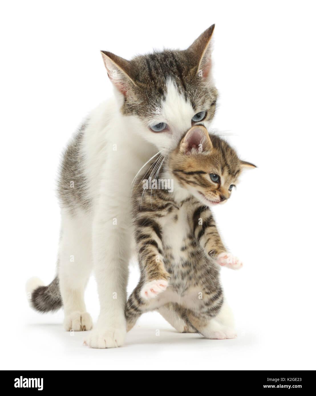 Funny Cat Carrying Kitten