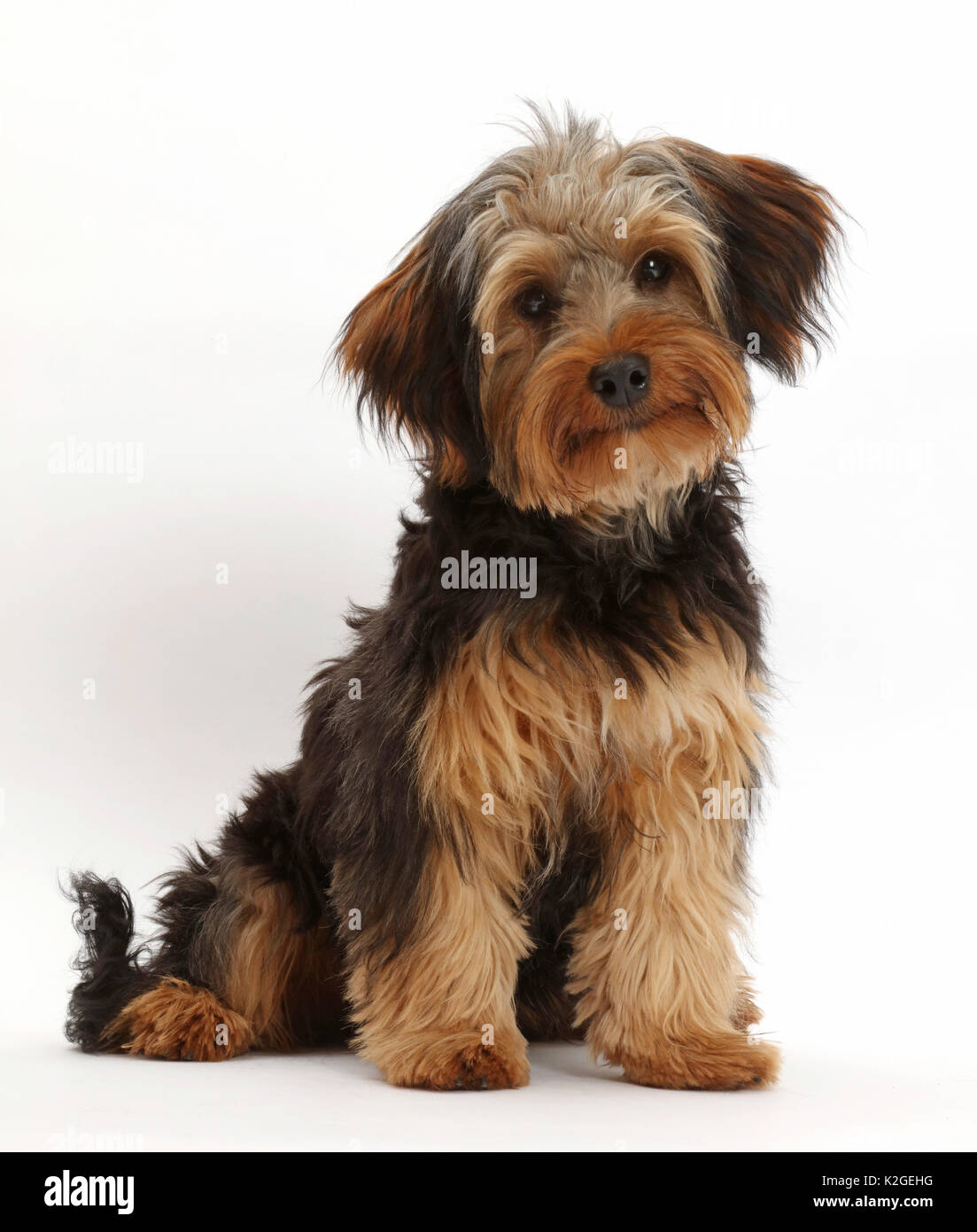 Yorkshire Terrier And ...