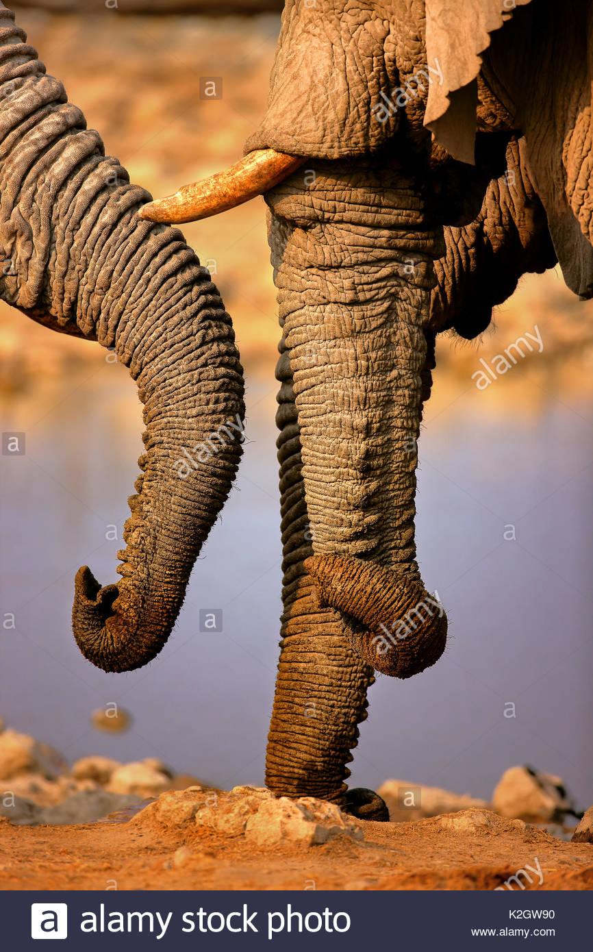 elephant trunks interacting close-up at a waterhole - Etosha National Park (Namibia) - Stock Image