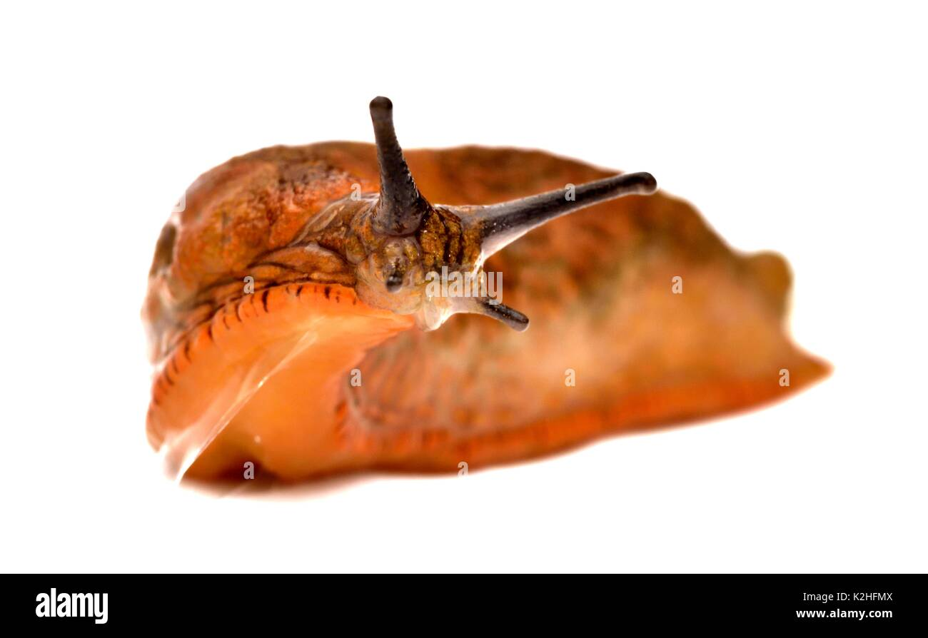 arion-hortensis-common-garden-slug-K2HFM