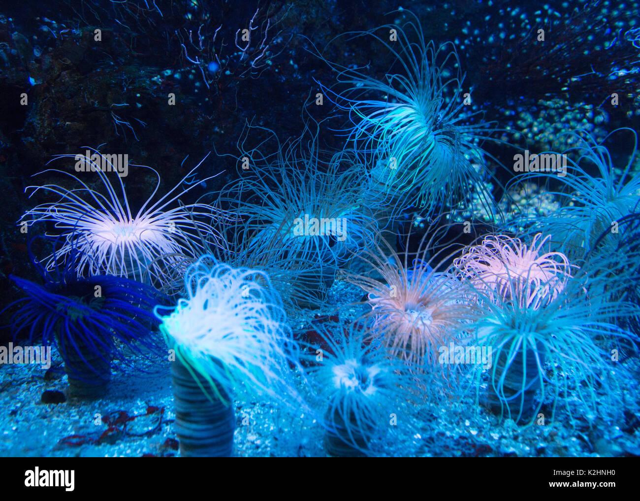 sea-anemone-a-selection-of-sea-anemones-