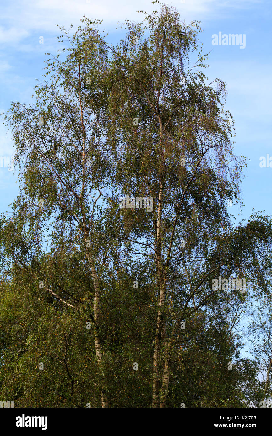 Ornamental weeping branches from upright growth in the hardy, silver barked birch, Betula pendula 'Tristis' - Stock Image