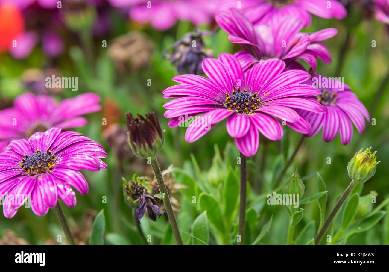african-daisies-akila-purple-osteospermu