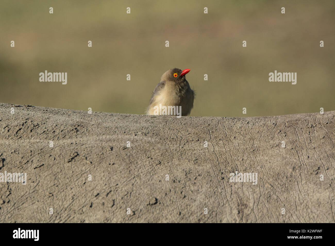 red-billed-oxpecker-buphagus-erythrorhyn
