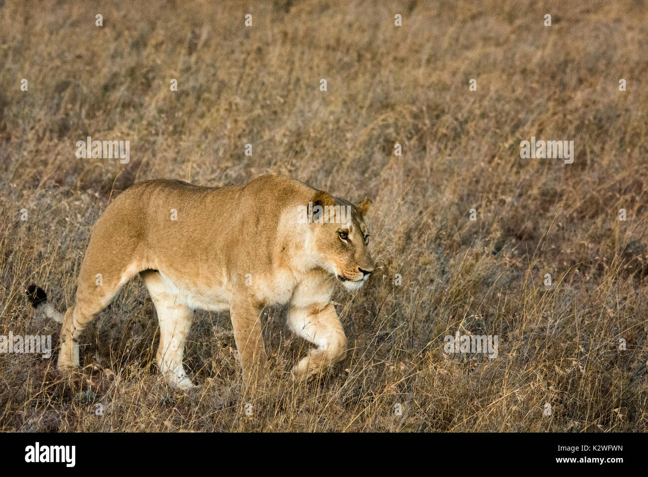 Lioness In Grass Stock Photos & Lioness In Grass Stock ...
