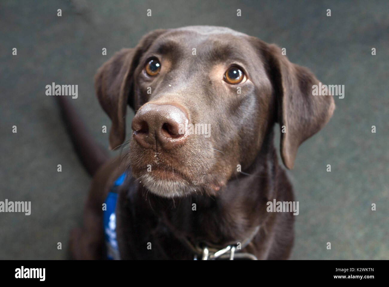Working Dog Service Vest Stock Photo