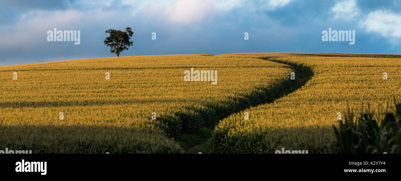 corn-field-in-so-paulo-state-se-brazil-K