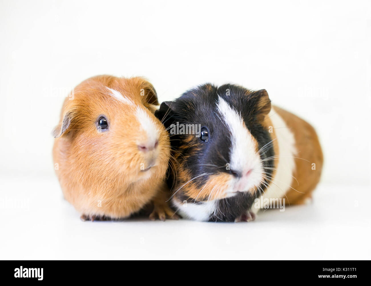 A pair of American Guinea Pigs - Stock Image