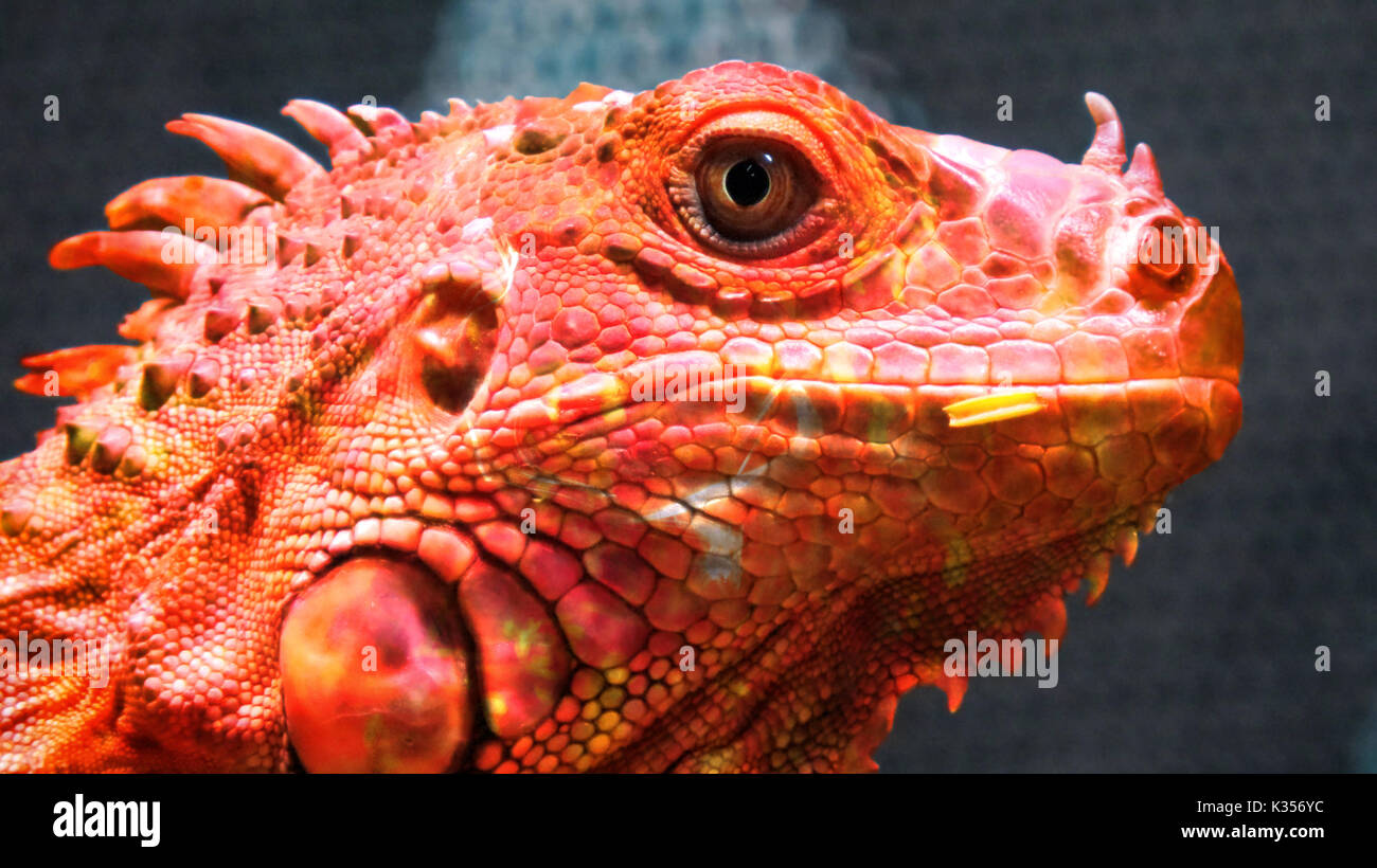 A conceptual dragon or rather a chameleon with colors of fire. - Stock Image