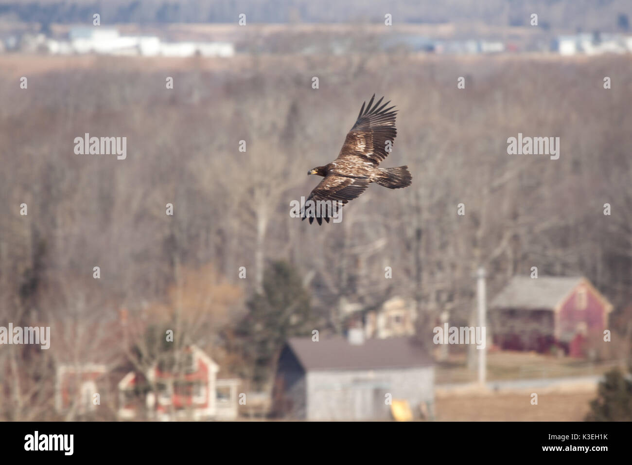 a single eagle soars over bare trees in winter - Stock Image