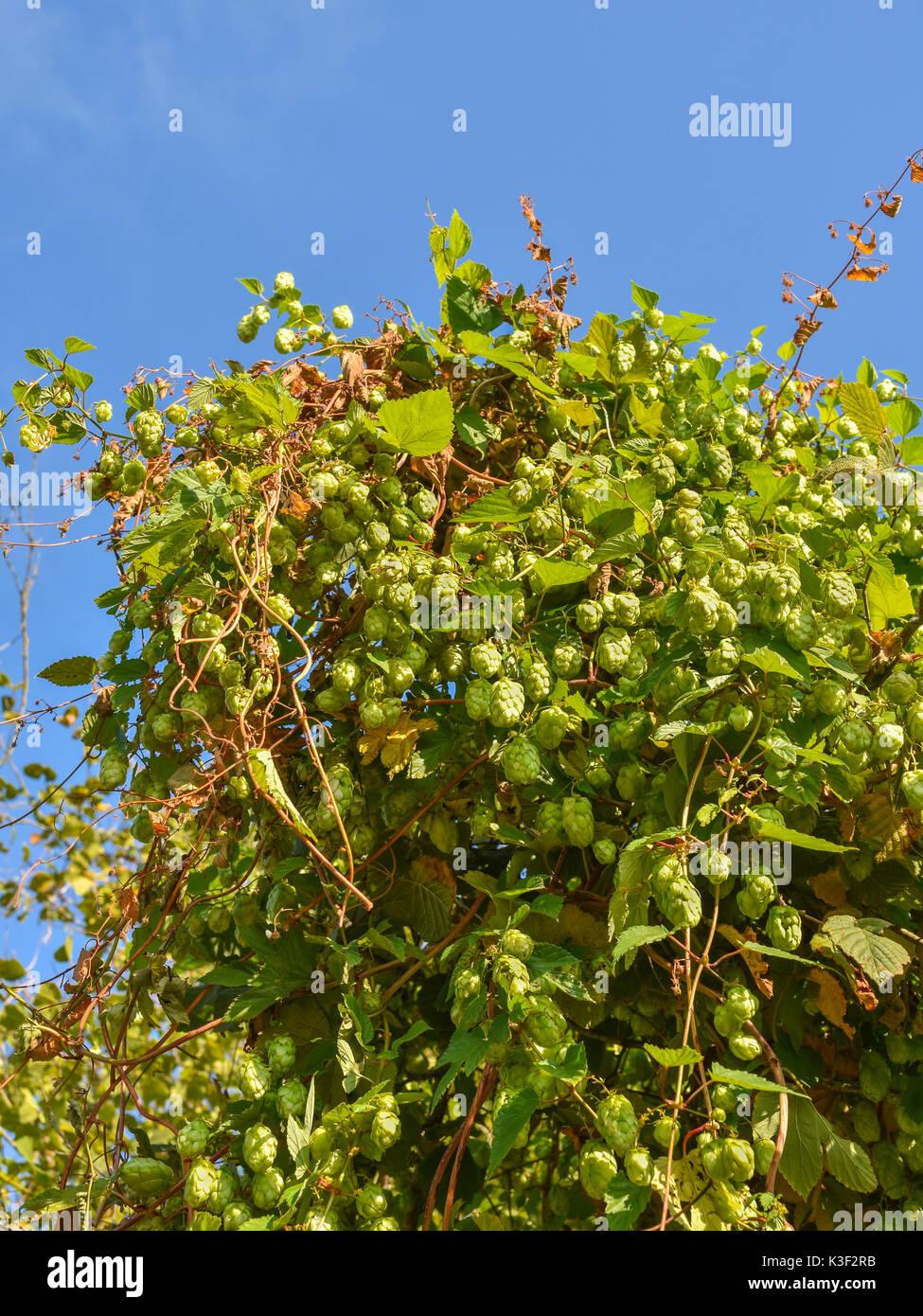 Wild Hop (Humulus lupulus) plant growing in roadside hedge - France. - Stock Image