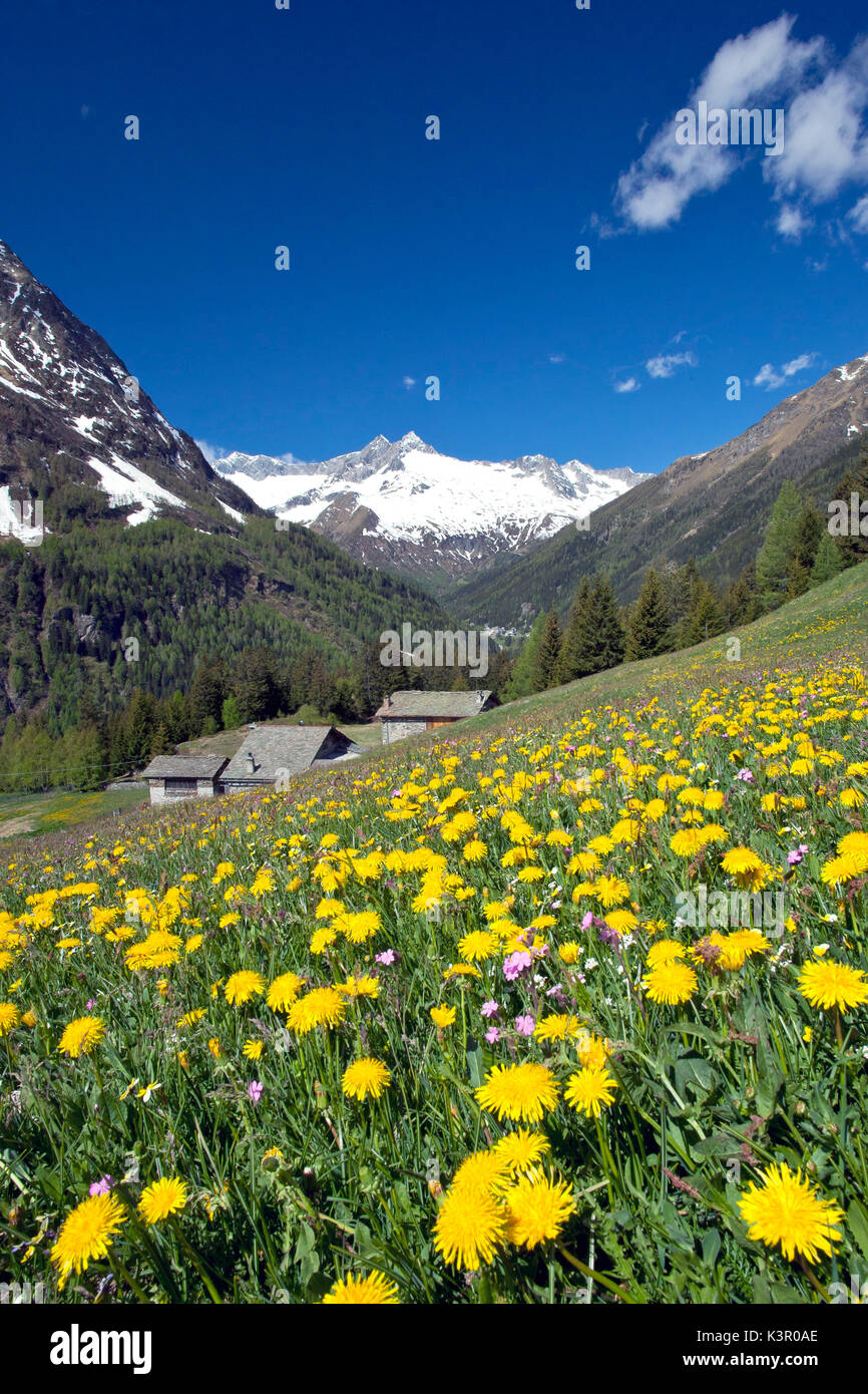 The bright yellow of the dandelion flowers contrasting with the snow of the peak Vazzeda in Valmalenco Lombardy - Stock Image