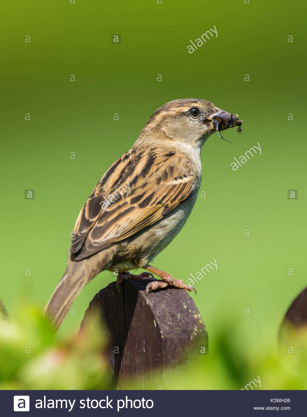 house-sparrow-passer-domesticus-perched-