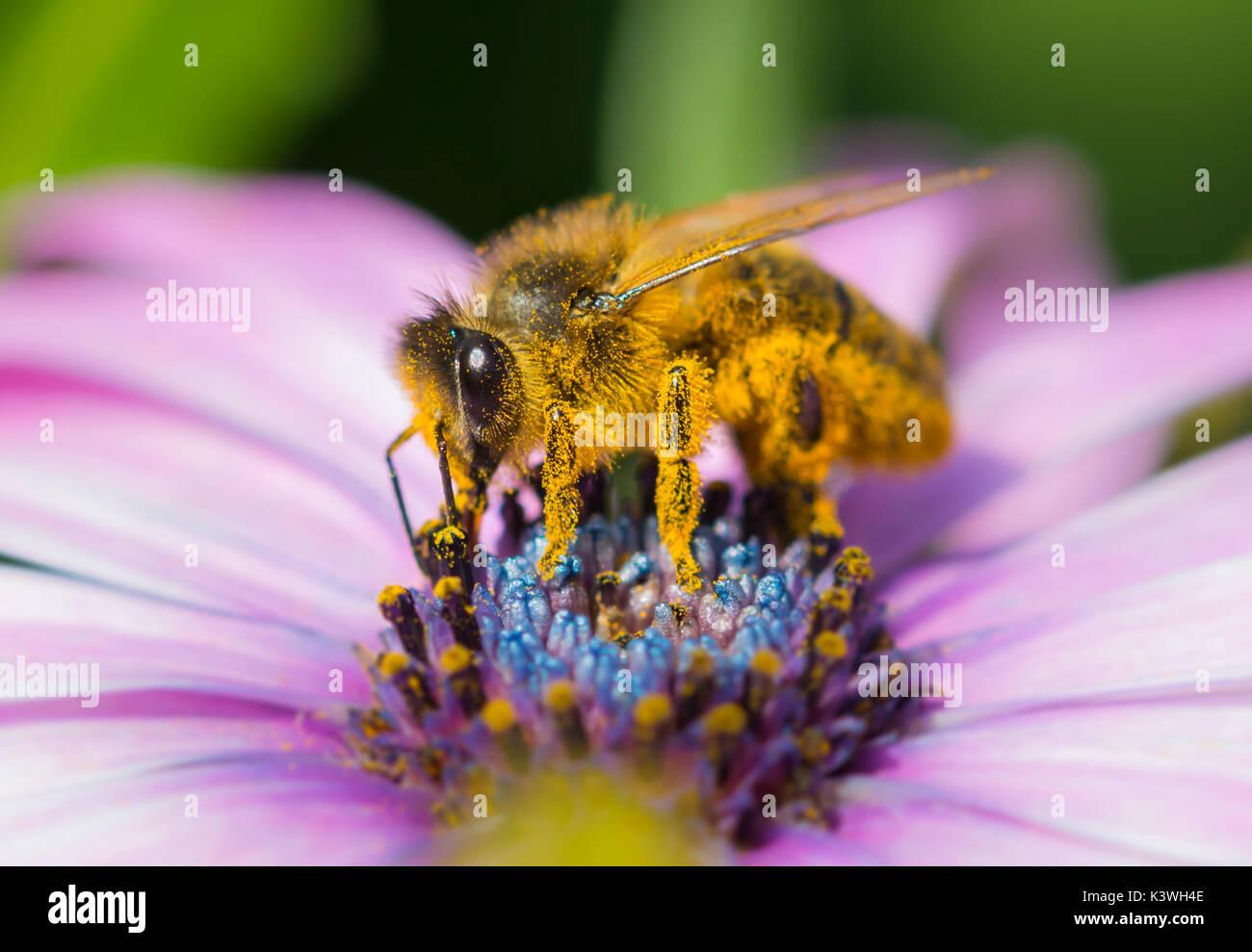 european-honey-bee-apis-mellifera-on-a-c