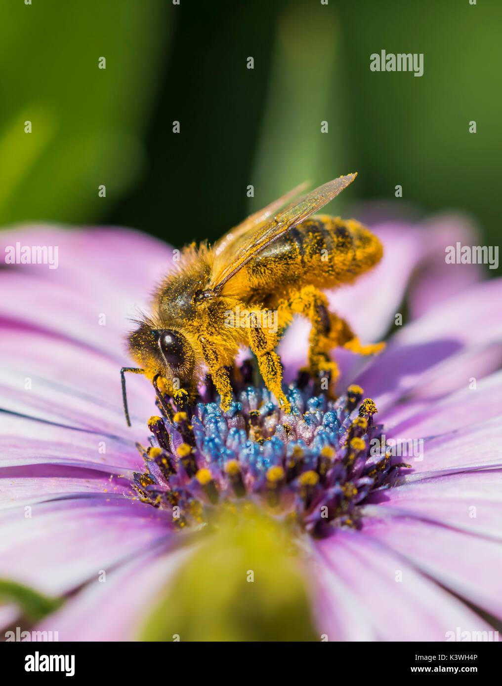 apis-mellifera-european-honey-bee-on-a-c