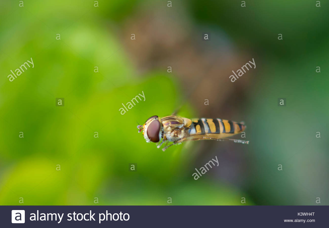 episyrphus-balteatus-commonly-known-as-a