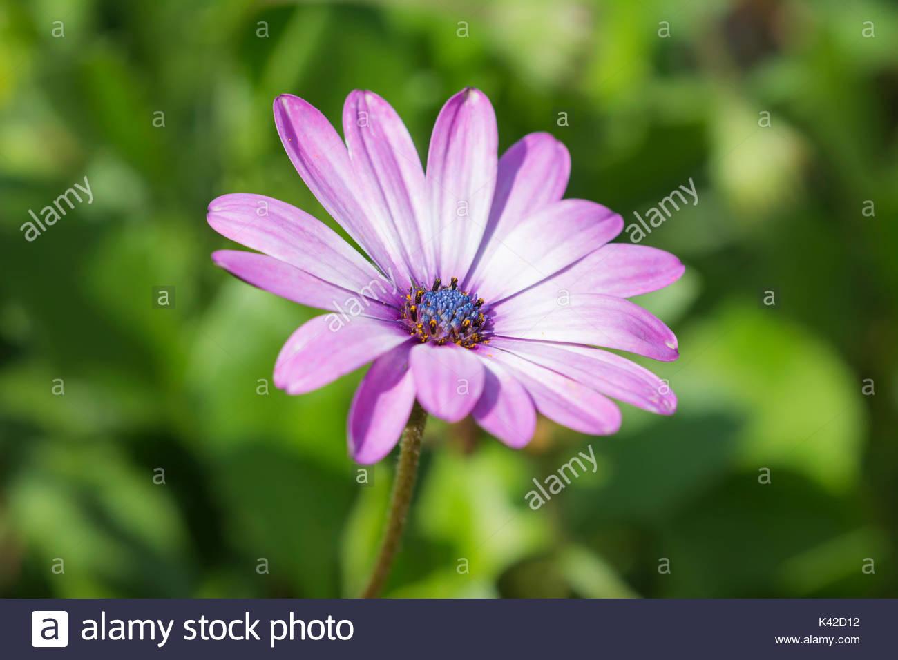 pink-osteospermum-ecklonis-african-daisy