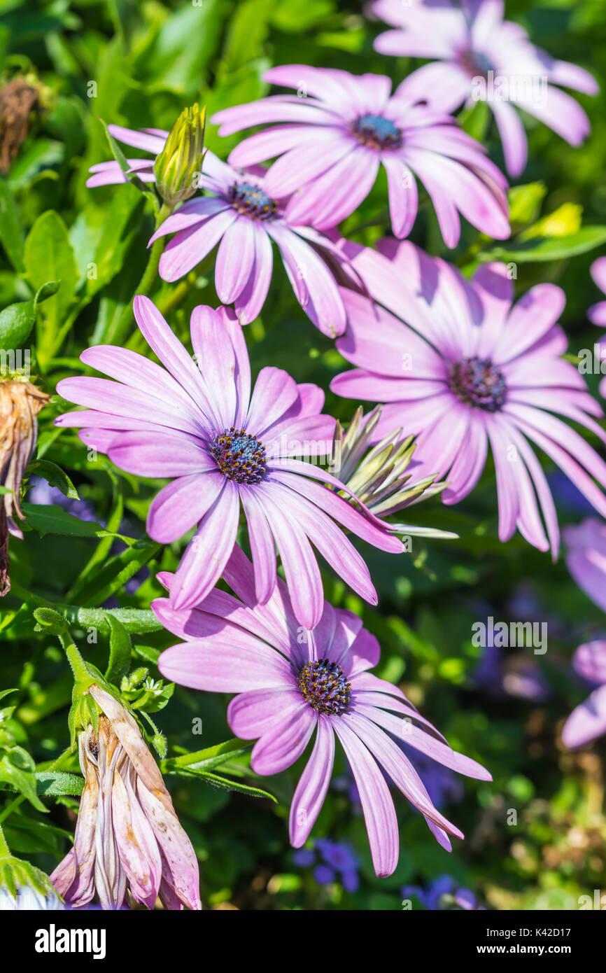 african-daisies-portrait-osteospermum-ec