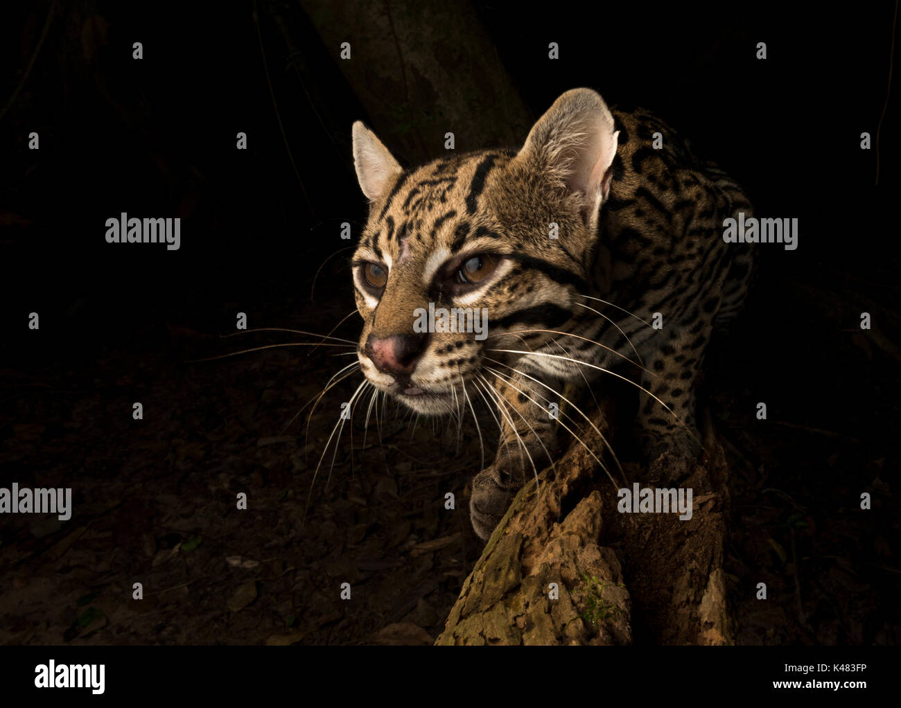 ocelot-portrait-with-a-wide-angle-remote