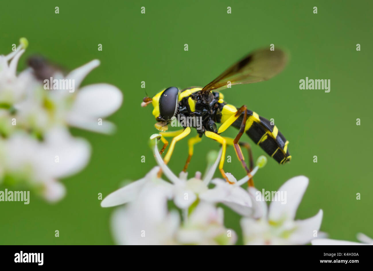 xanthogramma-pedissequum-adult-male-wasp