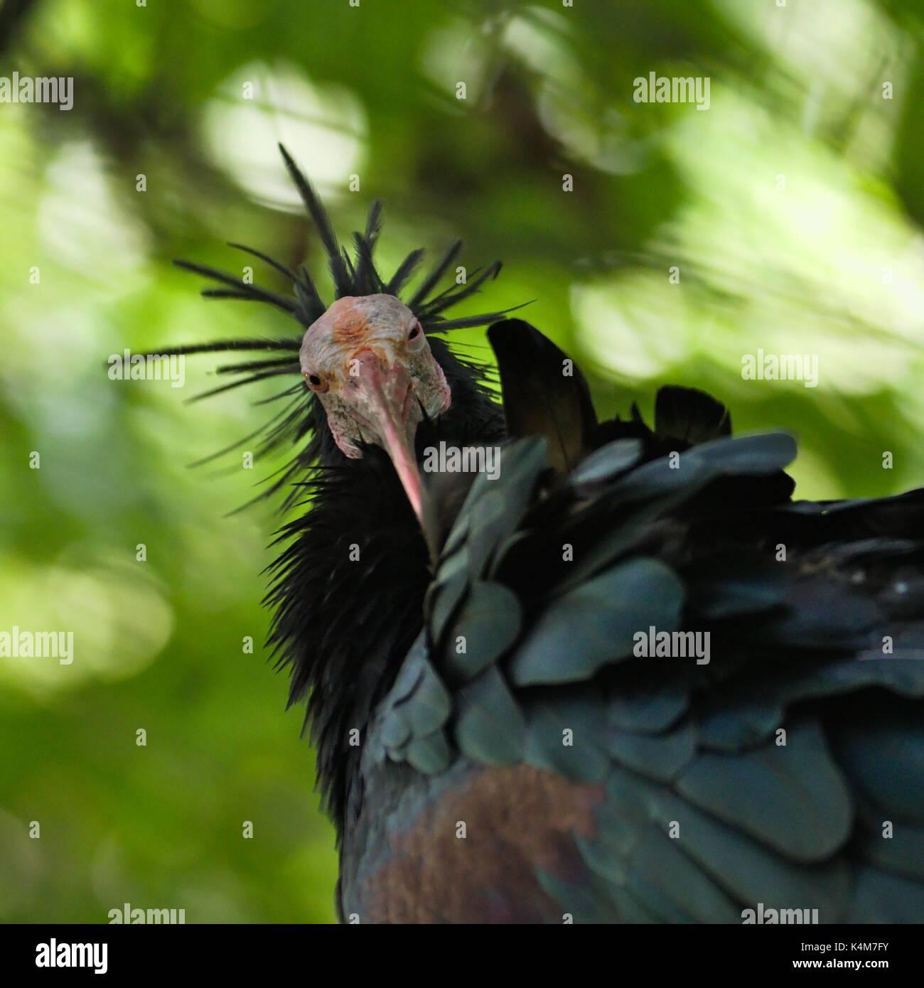 california-condor-gymnogyps-californianu