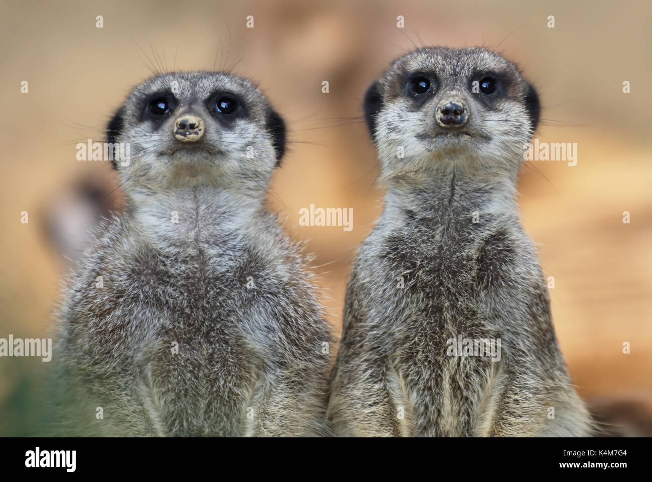 meercats-suricata-suricatta-captive-K4M7