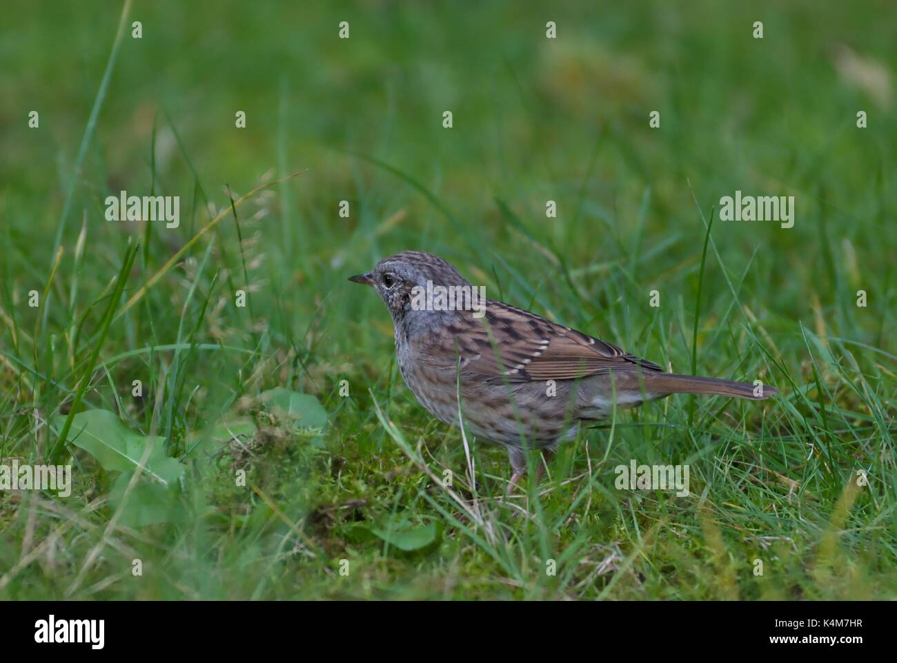 meadow-pipit-anthus-pratensis-searchin-f