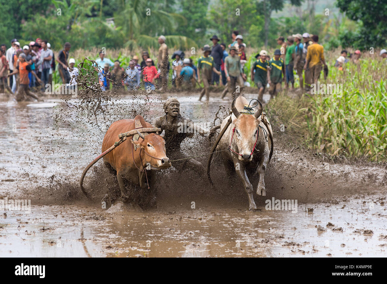 pacu-jawi-cow-racing-in-west-sumarta-ind