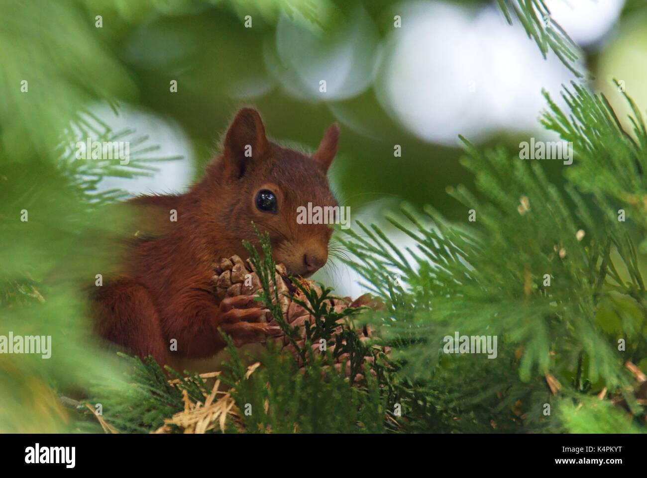 eurasian-red-squirrel-sciurus-vulgaris-K