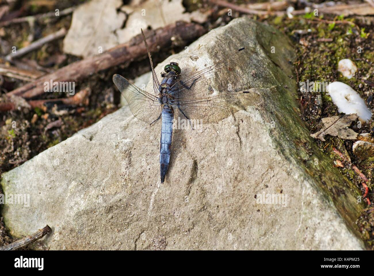 male-black-tailed-skimmer-orthetrum-canc
