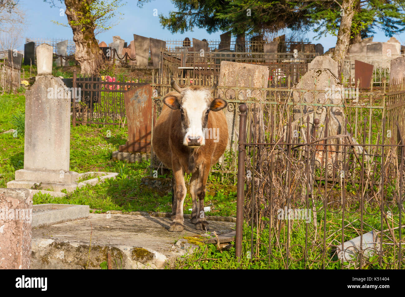 cow in the cemetery in Abkhazia, day - Stock Image