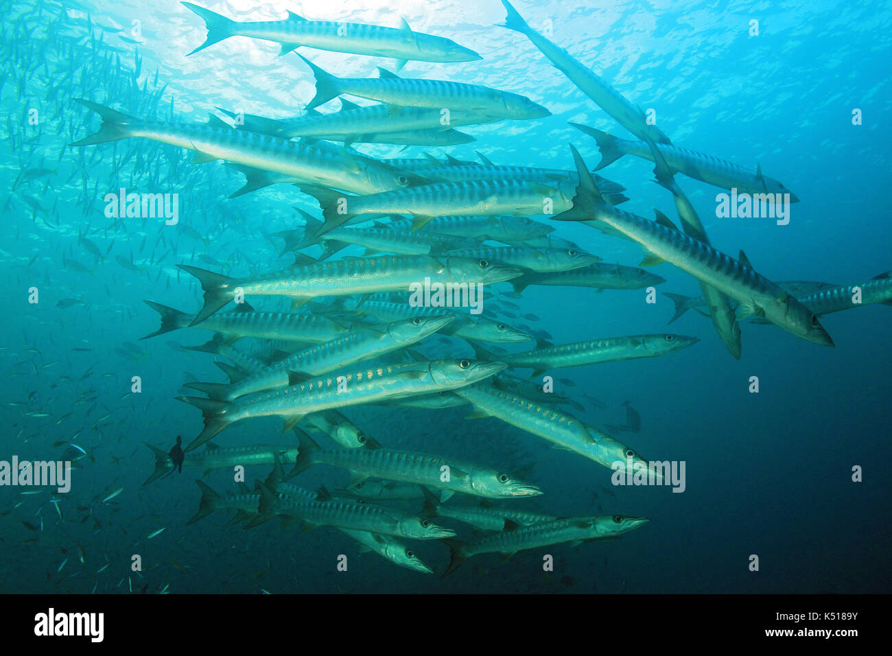 School of Blackfin Barracudas (Sphyraena qenie, aka Chevron Barracuda, Blacktail Barracuda). Raja Ampat, Indonesia - Stock Image